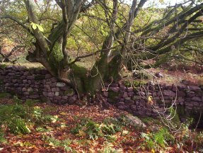 Dry stone wall and tree